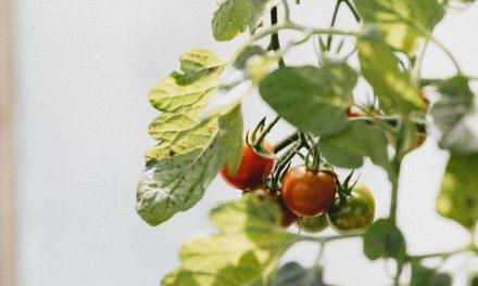 Tomatbonden | Med Rebekka Sele