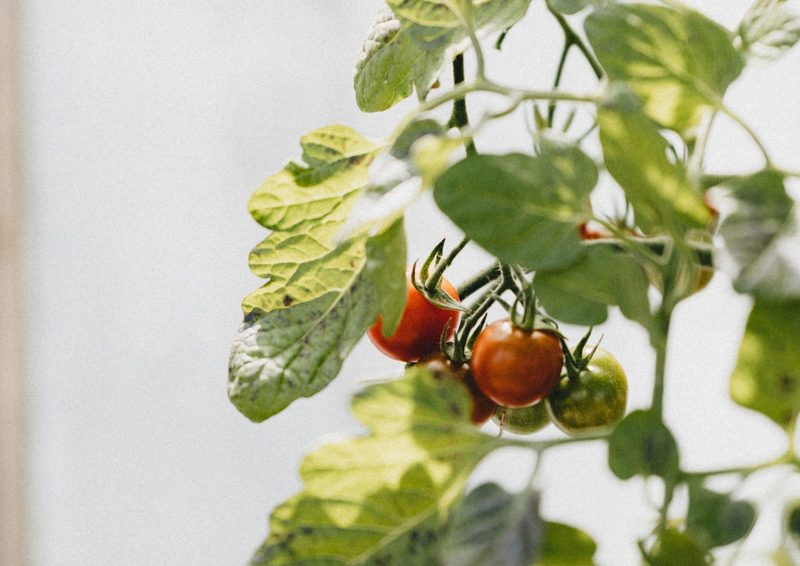 tomatbonden ny